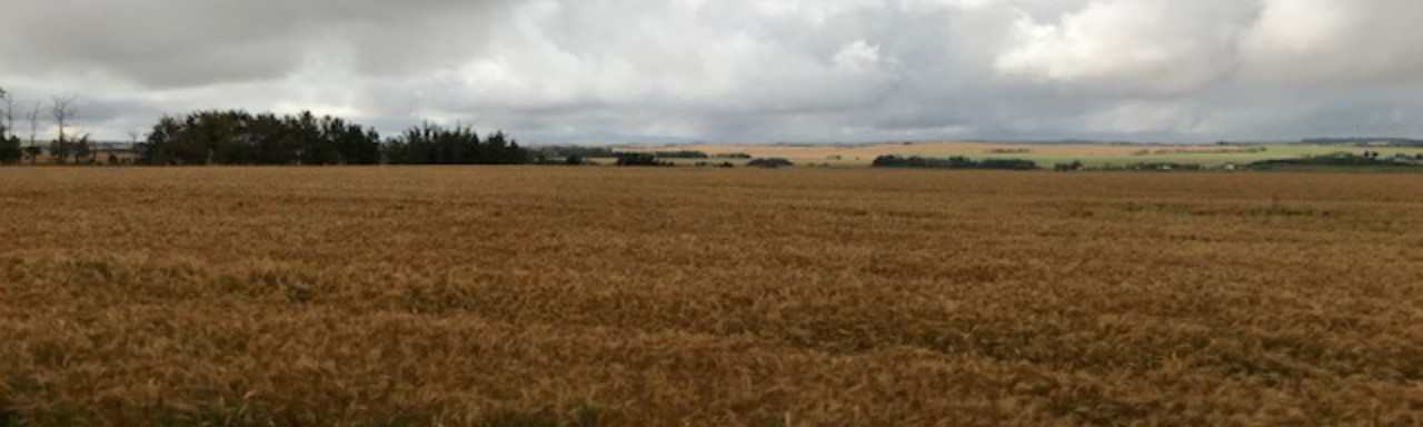 A field of wheat stands ready to be harvested
