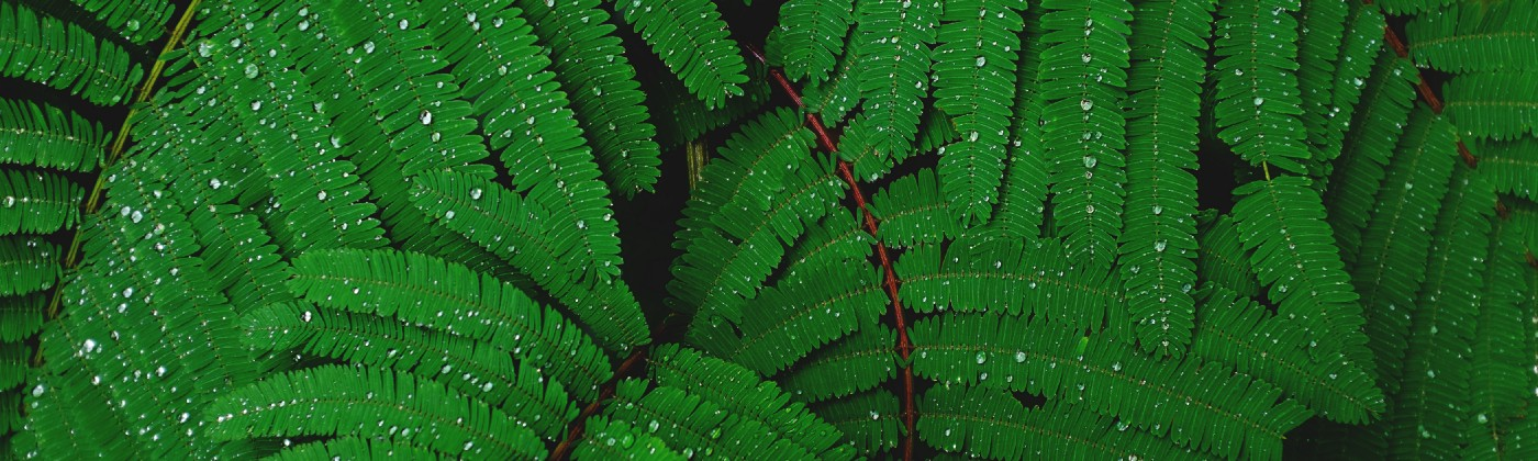 Photo of green fern leaves with water droplets.