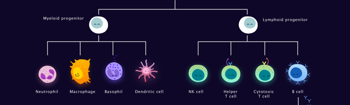 hierarchical tree shows how all white blood cells originated from a stem cell