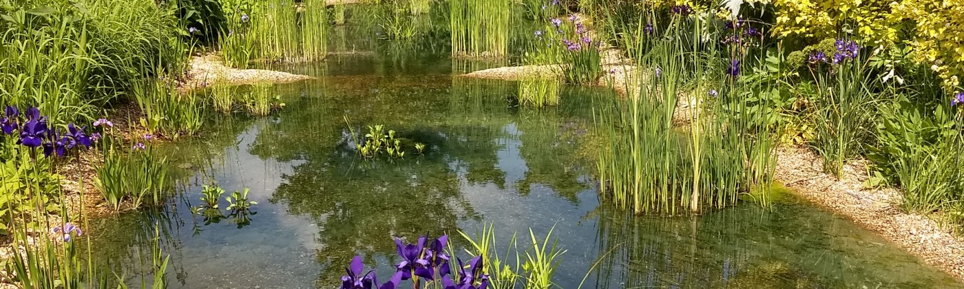 A peaceful pond surrounded by tall purplish flowers