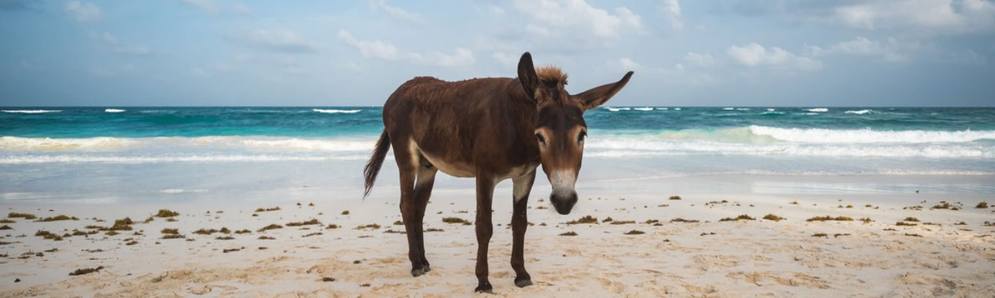 Miserably looking donkey at the beach. Seems almost ashamed.