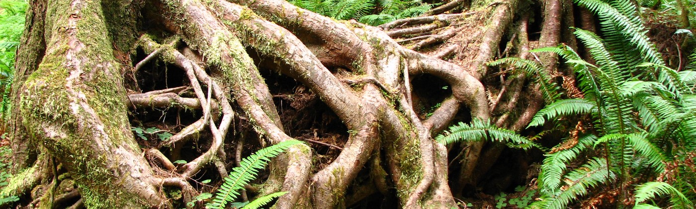 A complex tangle of tree roots and ferns