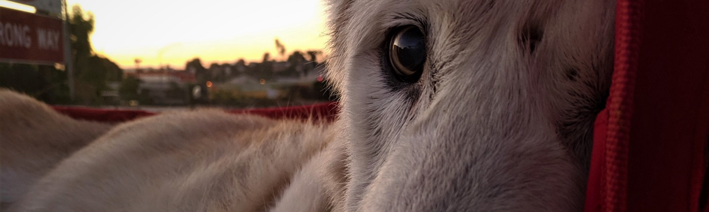 a white dog looks at the camera