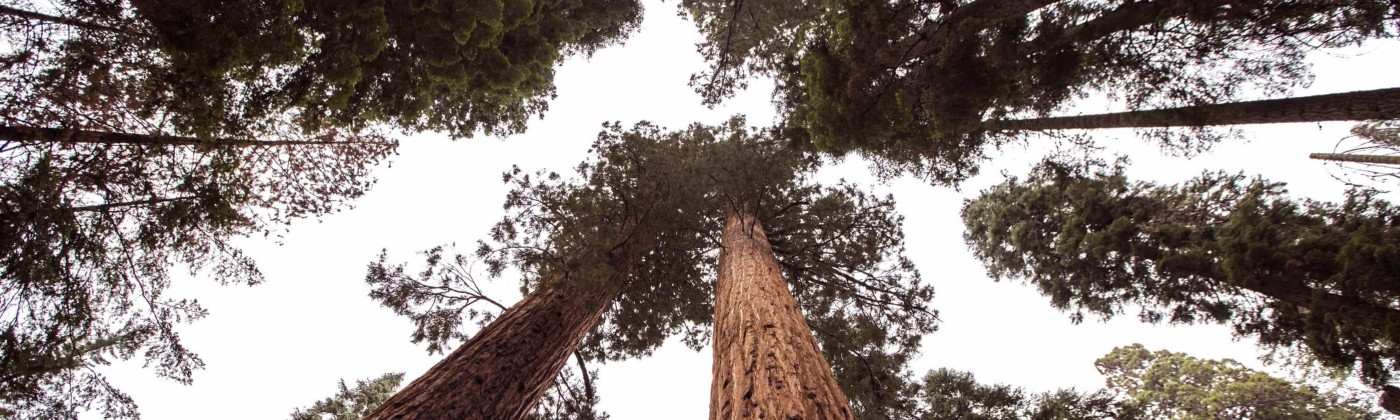 Large Sequoia trees are like investments—plant many seeds and hope some grow into fruitful ventures.