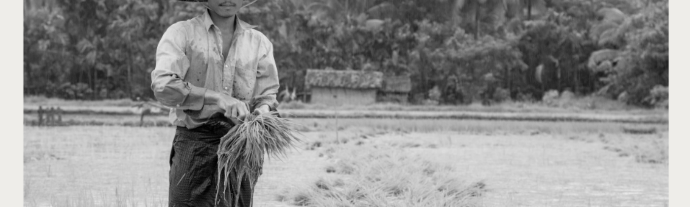 A paddy farmer harvests his crops.