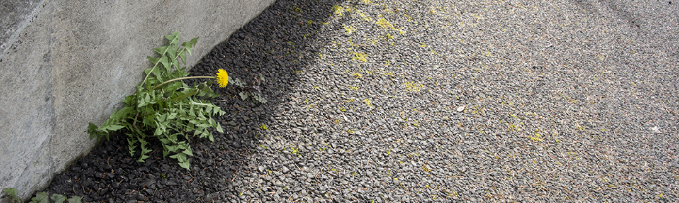 A dandelion grows out of the crack between asphalt and a cement wall. Shadow of a pole in the background.