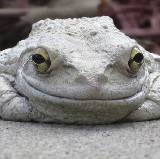 Grey Frogs