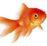 The Distracted Goldfish