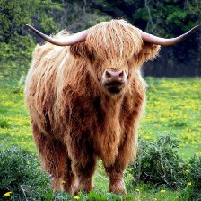 Pixabay Image of Bull by Micheal Drummond