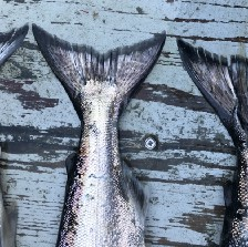 3 king salmon tails on a blue boat deck