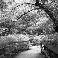 Black and white photograph of a boardwalk on a nature trail.