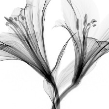 Two flowers in black and white.