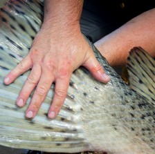 alligator gar tail with a large hand on top