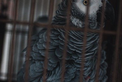 The Caged Parrot