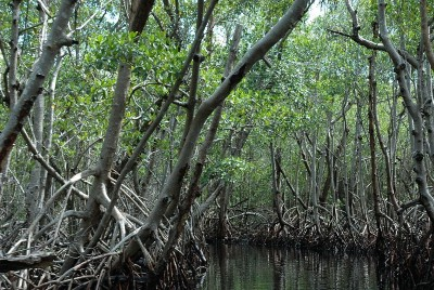 Mangroves Are Vital Carbon Reservoirs