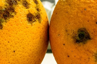 Saving sweet oranges: Catching plant diseases before they act
