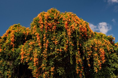 Want to add some sweet-scented flowering vines and climbers to your garden? Here's the list.