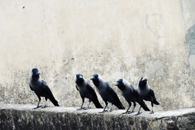 When the Ravens Sing