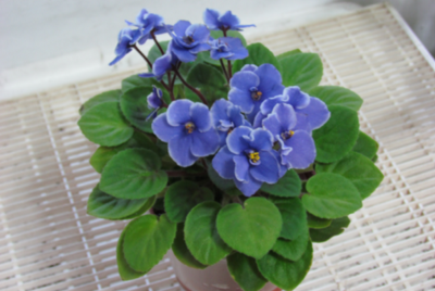 Indoor Air Pollution, will an African Violet on your desk fix it?