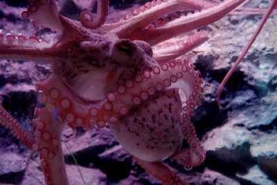 Spiteful Wild Octopuses Are Punching Fish