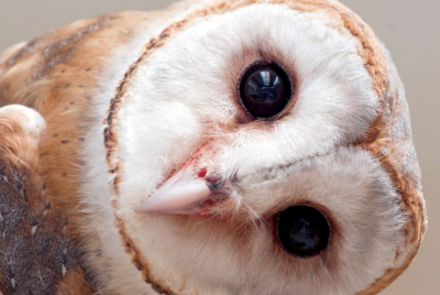 The Owl and Its Parabolic Face