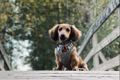 Owning a Dachshund Puppy: What They Don't Tell You