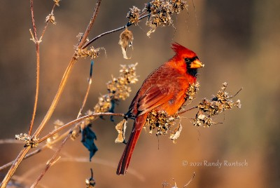 The Colorful Northern Cardinal