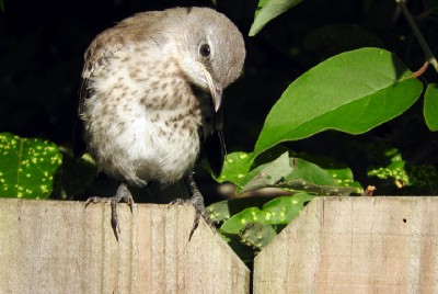 The Squeaky, Complaining, Utterly Lovable Baby Mockingbirds Are Here