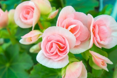 How To Care For Mini Roses: 17 Miniature Roses Growing Tips