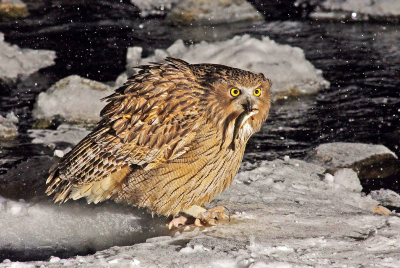 Fish owl: A bird whose whole life is saturated with fishing.