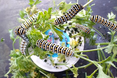 Ack! My Swallowtail Caterpillars are Poisoning Me.