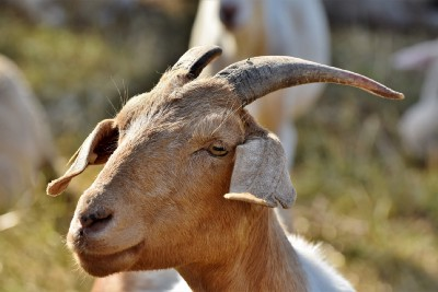 Goats Are Eco-Friendly Fire Fighters and Landscapers