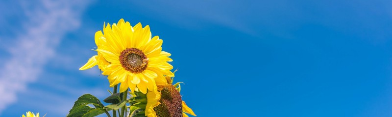 Oasis Sunflower Competition! cover image