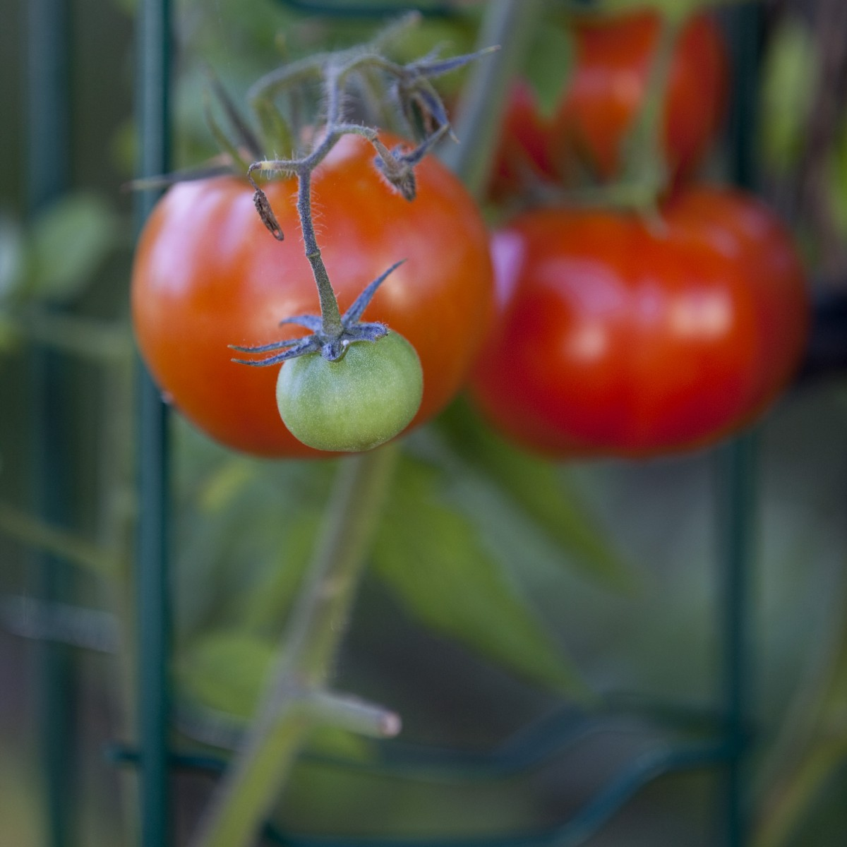 Preserving the Last of the Summer Tomatoes