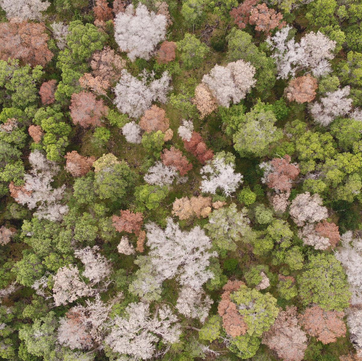 Scientists Are Using Drones to Combat a Fungus Wiping Out Hawaii's Sacred Trees