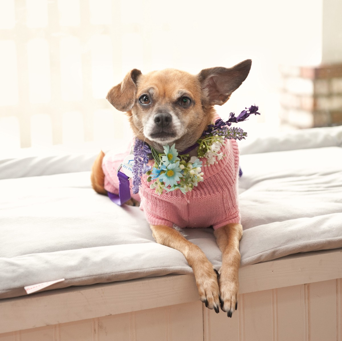 Why Are Chihuahuas Filling Up Bay Area Shelters?