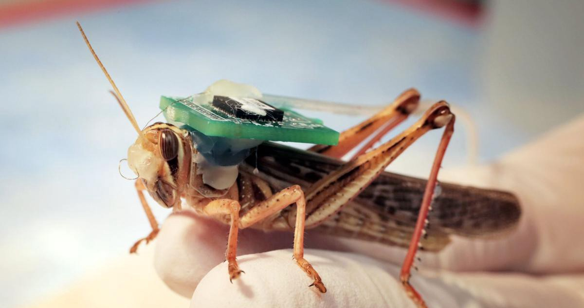Bomb-Sniffing Cyborg Locusts Can Now Successfully Detect Explosives