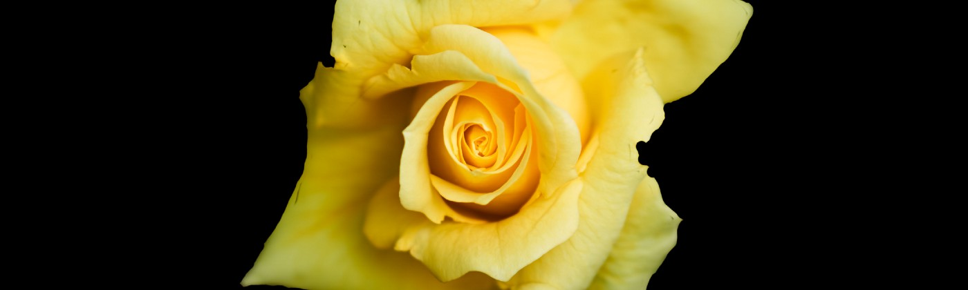 Black background with close up of a single bright yellow rose