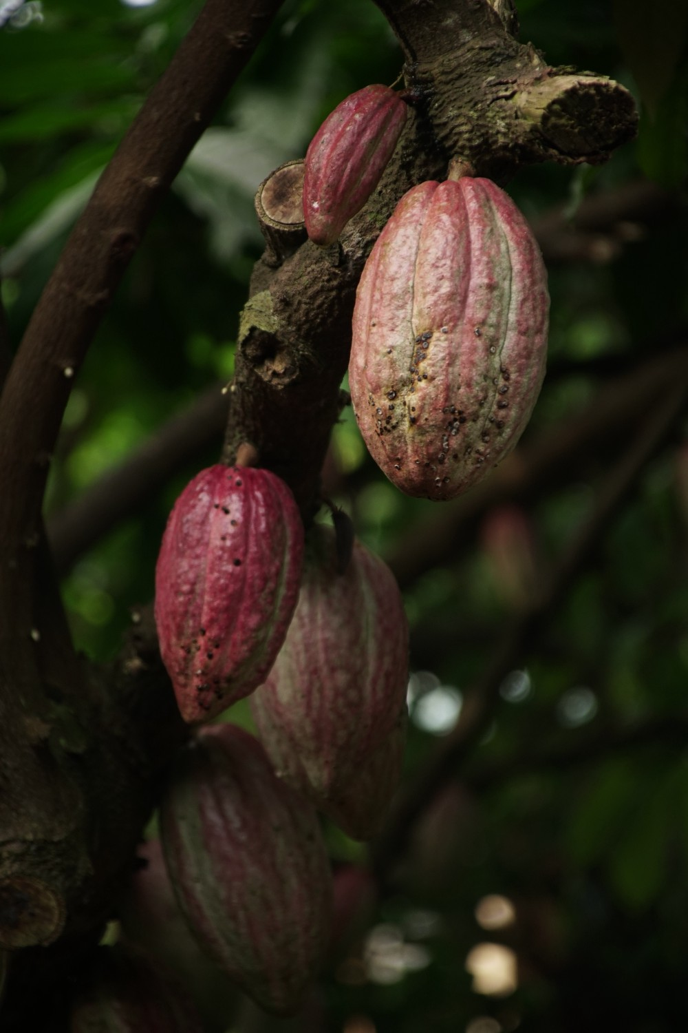 Photo of cocoa beans growing on a tree. The cocoa bean or simply cocoa, which is also called the cacao bean is the dried and fully fermented seed of Theobroma cacao, from which cocoa solids and cocoa butter can be extracted. They are almost small pear-shaped bullet-like nuts in their shape. Colours ranging from orange through to light brown/red shades.