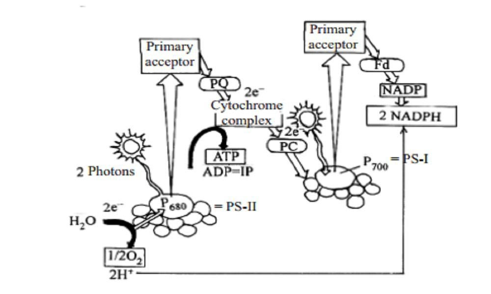 Photosynthesis By Biology Experts Notes Medium This occurs in green plants, algae, and photosynthetic bacteria. photosynthesis by biology experts