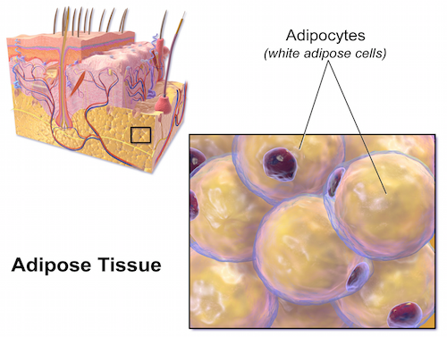 """those large white blobs (termed """"lipid droplets"""") in the white fat cells  are what house our triglycerides (tags…get used to this acronym, i'm going  to use"""