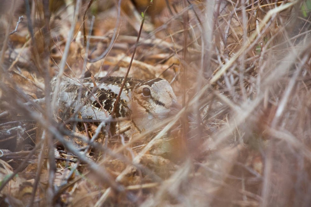 A brown bird sits on the ground, hidden by branches