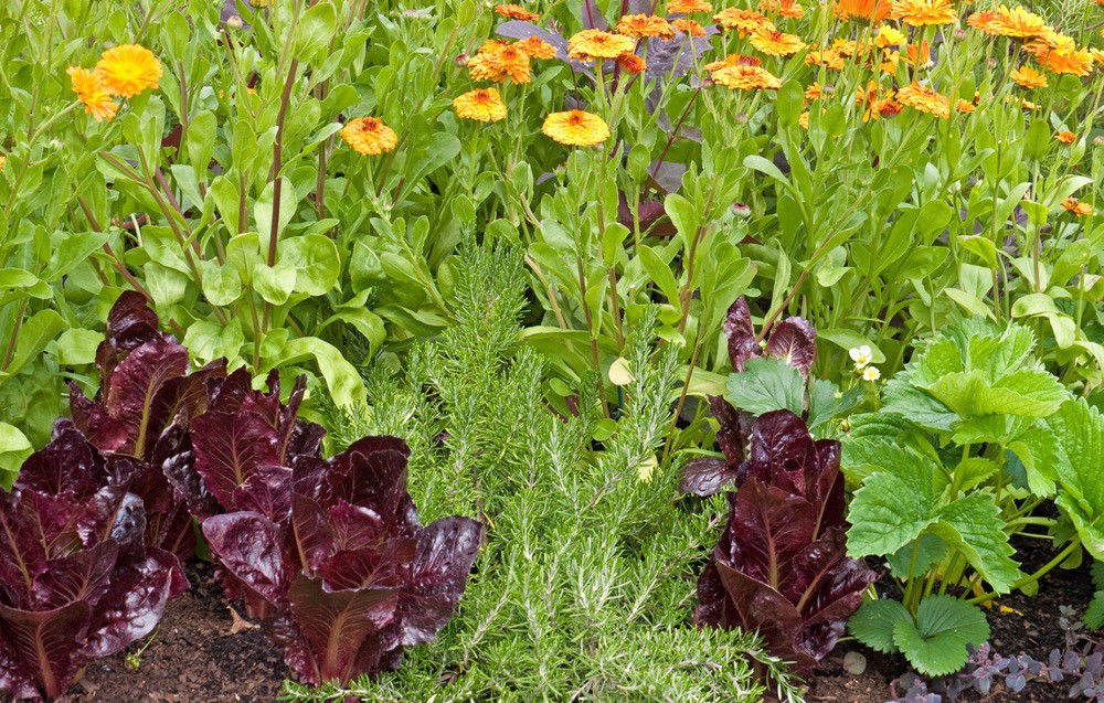 Companion plants of lettuce tagettes and herbs