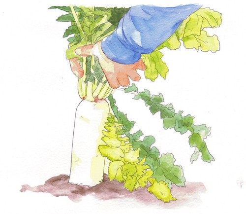 An illustration of daikon in the ground.