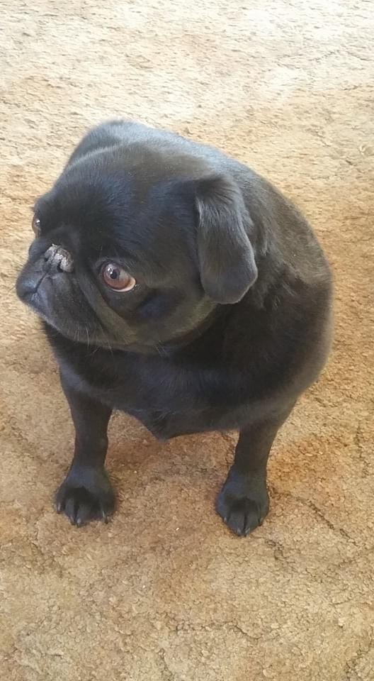 Picture of Shadette the pug.