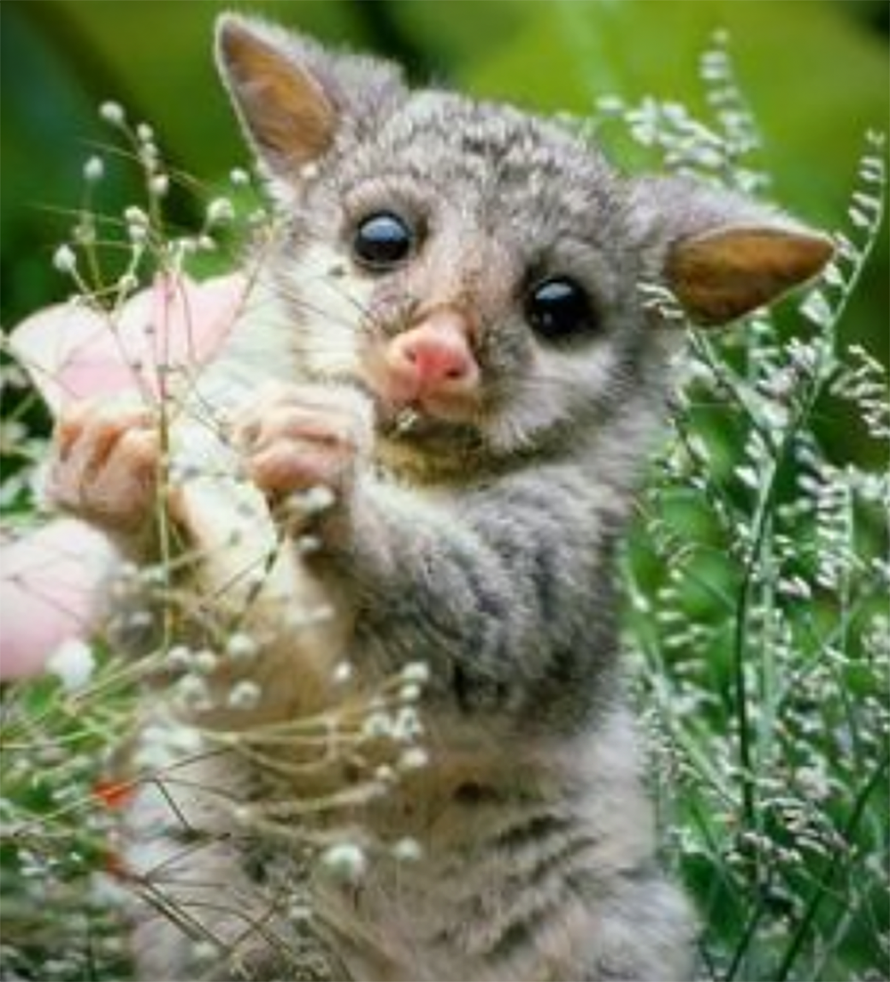 How To Get Rid Of A Possum In Your Garage a tale of a suburban possum - jay pest - medium