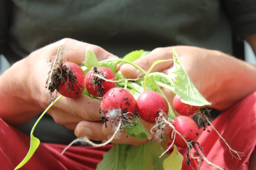 A bunch of radishes that are still covered in fresh soil are held in a pair of hands.