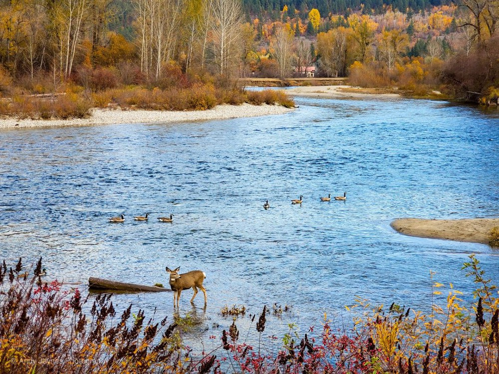 A deer pauses in a stream. A family of ducks swims past in the distance. Trees with muted fall colors line the banks.