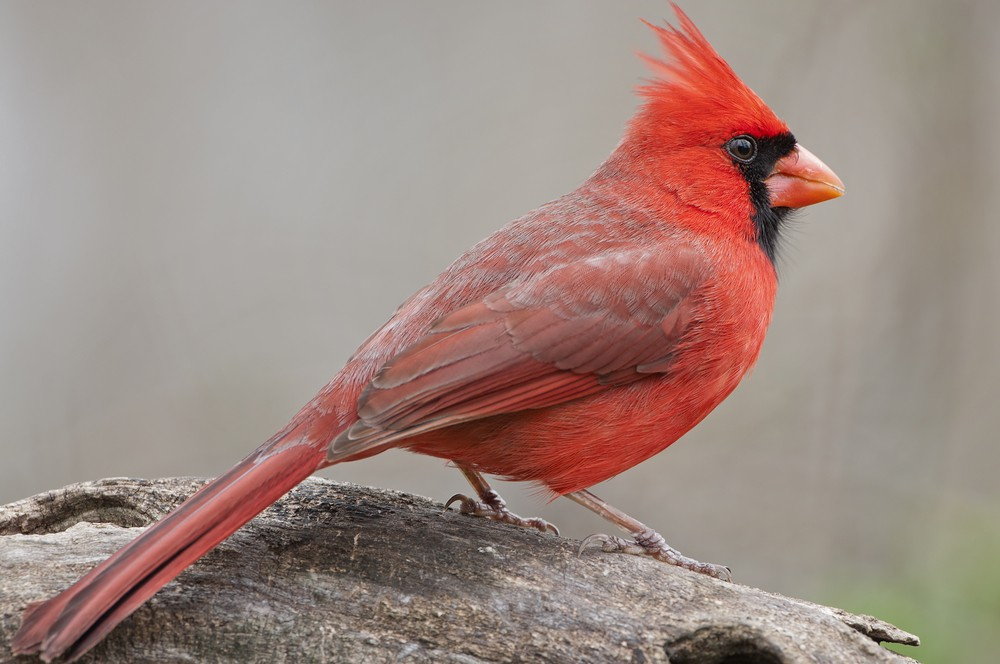 What It Means When You See a Red Cardinal - Psychic 2 Tarot