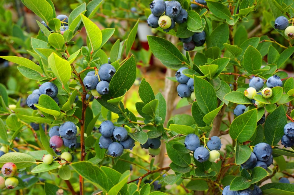 A wild blueberry plant heavy with ripe berries
